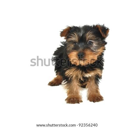 Yorkie Puppy - stock photo
