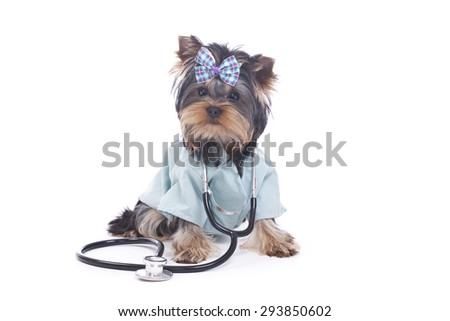 Yorkie Puppy Dressed up as a Veterinarian with Stethoscope isolated on White