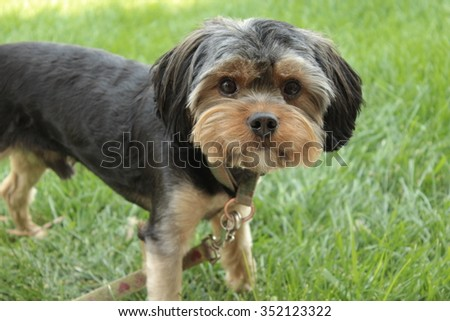 Yorkie Puppy Portrait with Left Side Body View - stock photo