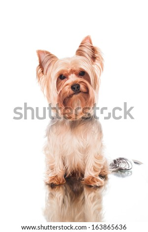 yorkie sitting  on white background