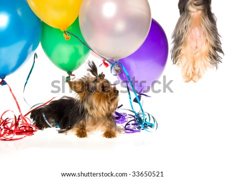 Yorkie watching pup drifting up in the air, on white background