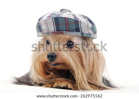 yorkie / yorkshire terrier / cute yorkie / hat / dress up doggie / cute dog / little dog / tiny / puppie/ puppy - stock photo