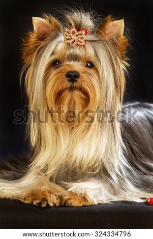 Yorkirsky terrier in studio on a black background. Charming with a beautiful pedigree dog hair on the dog show. With selective focus - stock photo