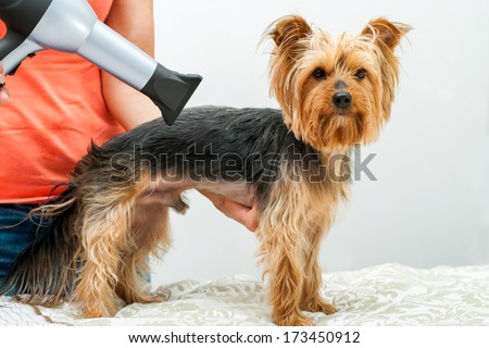 Yorkshire in dog salon.Female hands using hair dryer on yorkshire dog in salon.