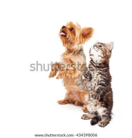 Yorkshire puppy and kitten sitting up together and begging on white with copy space