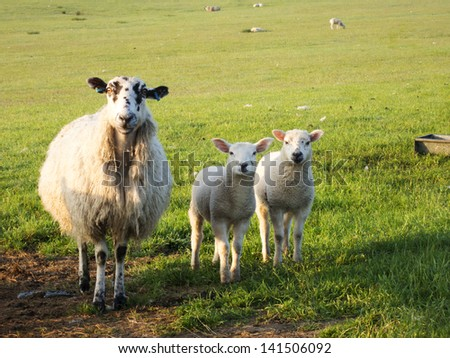 Yorkshire sheep and lambs