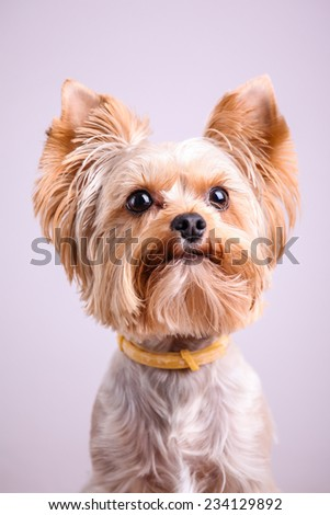 Yorkshire terrier  against black background - stock photo
