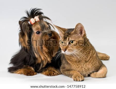 Yorkshire Terrier and cat in studio - stock photo