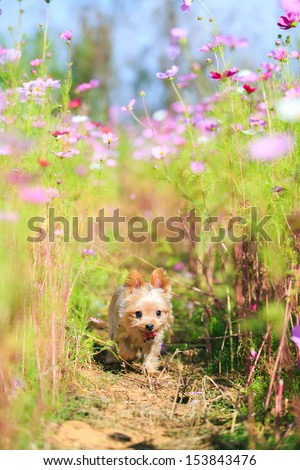 Yorkshire Terrier and cosmos field