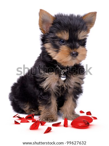 Yorkshire terrier angry with broken glass heart - stock photo