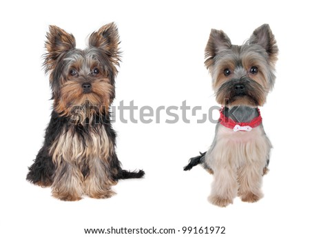 Yorkshire Terrier  - Before and after - cutting hair - stock photo