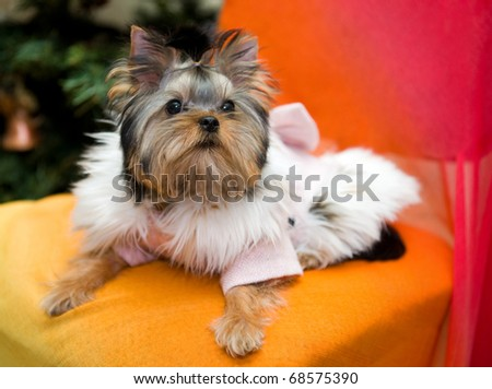 yorkshire terrier clad in coat with fur - stock photo