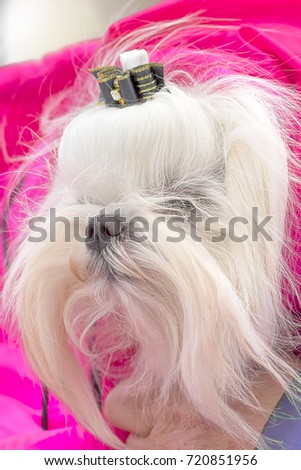 Yorkshire Terrier Close-up