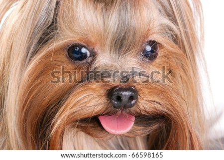 Yorkshire Terrier close-up. Isolated on a white background