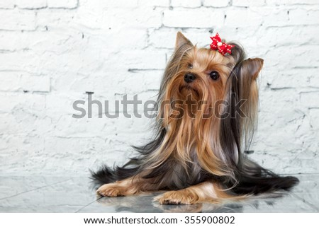 yorkshire terrier dog - stock photo