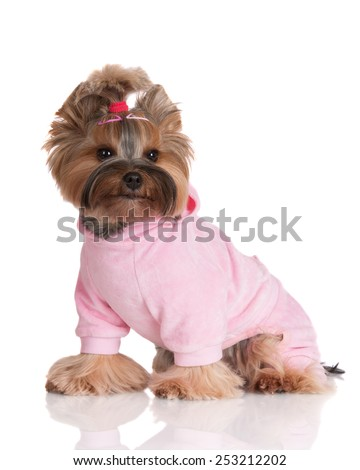 yorkshire terrier dog in a pink costume - stock photo