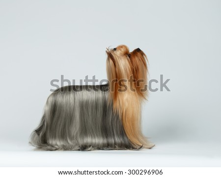 Yorkshire Terrier Dog in Profile view Looking up on White background - stock photo