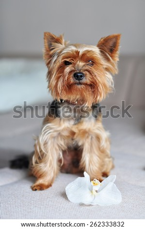 Yorkshire Terrier dog on the couch - stock photo