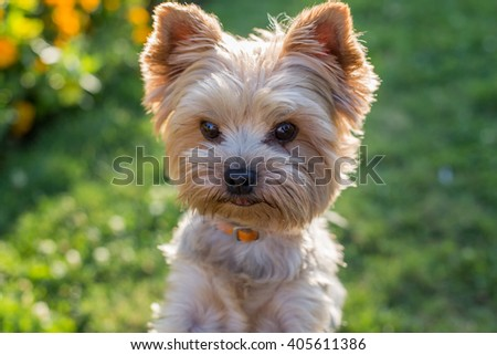 Yorkshire Terrier Dog on the green grass - stock photo