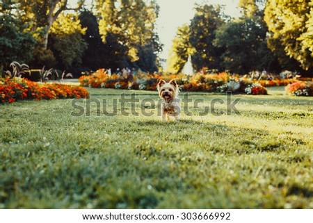 Yorkshire Terrier Dog running on the green grass - stock photo