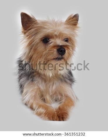 yorkshire terrier dog sitting - stock photo