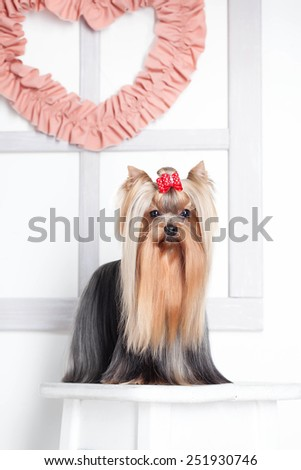 Yorkshire terrier dog standing with valentine heart