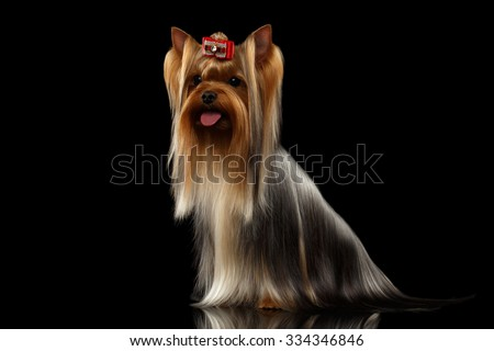 Yorkshire Terrier Dog with long groomed Hair Sits on black background - stock photo