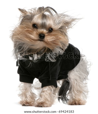 Yorkshire Terrier dressed up with hair in the wind, 14 months old, standing in front of white background - stock photo