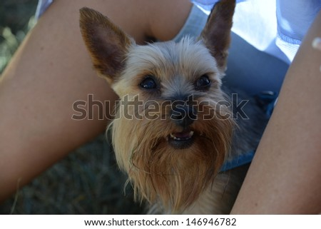 Yorkshire Terrier during heat - stock photo