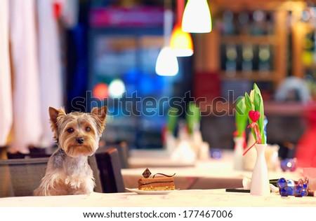Yorkshire terrier enjoying dessert in cafe - stock photo