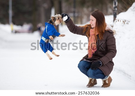 Yorkshire terrier in blue overalls jumps for snow in  hands of girl
