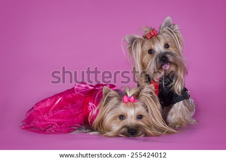 Yorkshire terrier in clothes isolated on pink background - stock photo