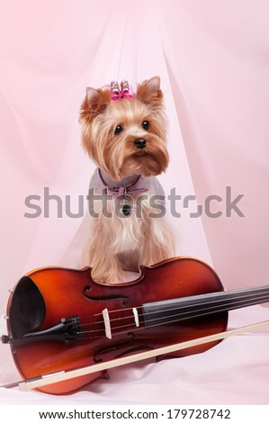 Yorkshire terrier in pink gentle scenery with violin - stock photo