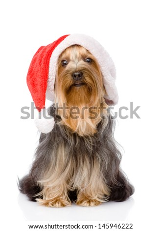Yorkshire Terrier in red christmas Santa hat. isolated on white background  - stock photo