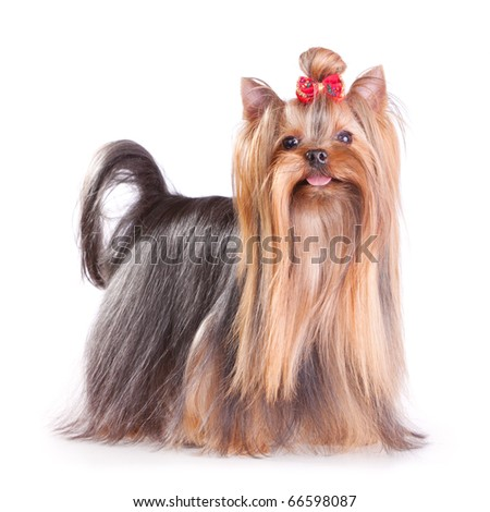 Yorkshire Terrier in show coat. Isolated on a white background - stock photo