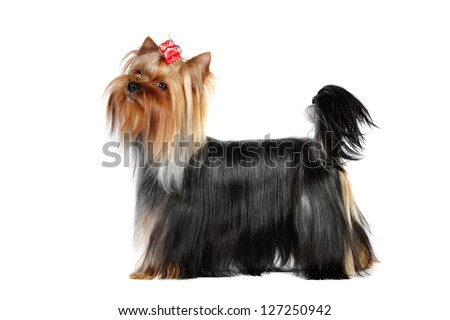 Yorkshire terrier in studio on a white background - stock photo