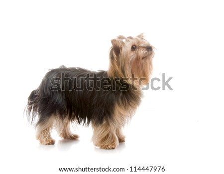 Yorkshire Terrier in studio, on white background - stock photo
