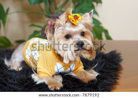 yorkshire terrier in the yellow suit