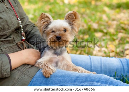 Yorkshire Terrier is sitting on the grass next to the owner  - stock photo