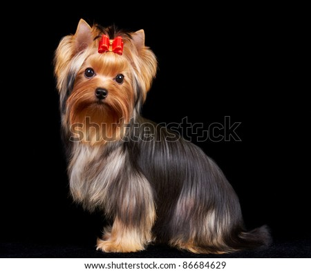 Yorkshire Terrier isolated on the black background