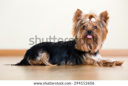 Yorkshire Terrier laying on laminated floor