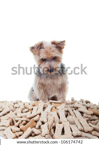 Yorkshire terrier looking at a big pile of dog treats - stock photo