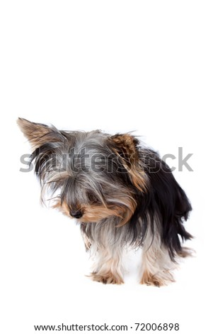 Yorkshire terrier looking down at the bottom of the frame, against a white background - stock photo