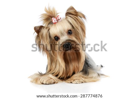 yorkshire terrier looking into the camera in a wehite studio