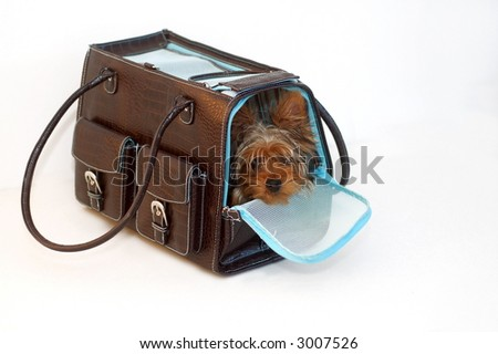 Yorkshire Terrier looking out of a brown and blue purse - stock photo