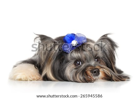 Yorkshire terrier lying in front of white background - stock photo