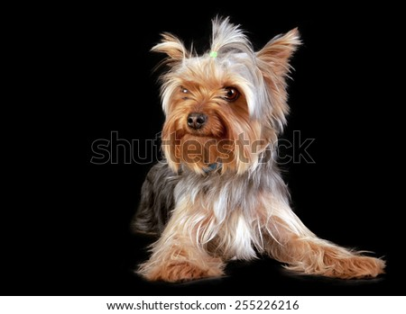 Yorkshire terrier lying on a black background