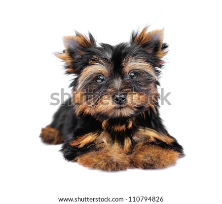 Yorkshire Terrier (2 months) in front of a white background - stock photo