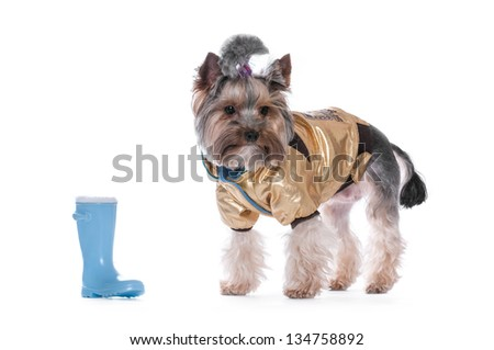 Yorkshire terrier on a white background in clothes