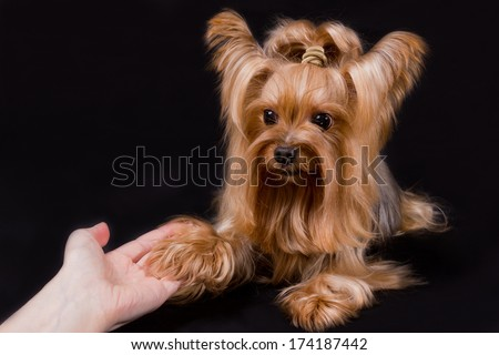 Yorkshire terrier on the dark background